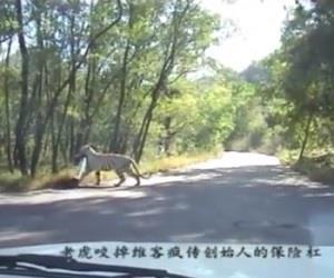 Tigre arranca para-choque de carro em parque na China