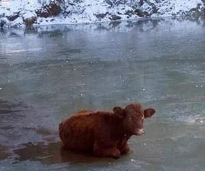 Vaca é resgatada após ficar presa em lago congelado