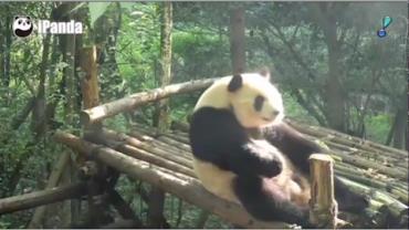 Panda deixa a preguiça de lado e faz abdominais na China