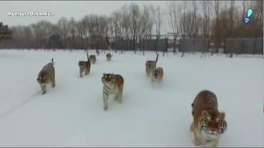 Chineses usam drone para acabar com o sedentarismo de tigres siberianos